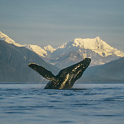 This was a breaching whale that left an unforgettable visual imprint in my memory for all time. I was camped in Icy Strait where there are usually many humpback whales, and the scenery is incredible, with a fantastic backdrop of the massive Fairweather Mountain Range bordering Glacier Bay. It was a beautiful, flat-calm, sunny morning and one whale had got off to a flying start. It was breaching repeatedly and I got off to an early start to try to catch up with it on the other side of Icy Strait. <br />
