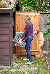 Taking a tray of potatoes into a shed for storing