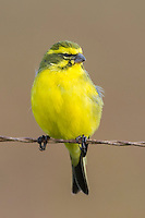 Yellow Canary, Stanford, Western Cape, South Africa