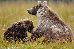 North American brown bear /  coastal grizzly bear (Ursus arctos horribilis) sow and cub in a field of grass, Lake Clark National Park, Alaska, United States of America