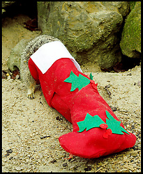 A meerkat goes into a Christmas stocking .The stockings are given to the Meerkats  before Santa  comes  flying into the Zoo on Saturday (November 23) to take up his annual residence in the fairytale grotto, as Whipsnade's magical Meet Santa experience Thursday, 21st November 2013. Picture by Max Nash / i-Images