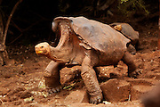 A giant galapagos tortoise (Geochelone elephantopus) with a saddle-backed carapace. Darwin Center, Santa Cruz Island, Galapagos Archipelago - Ecuador.