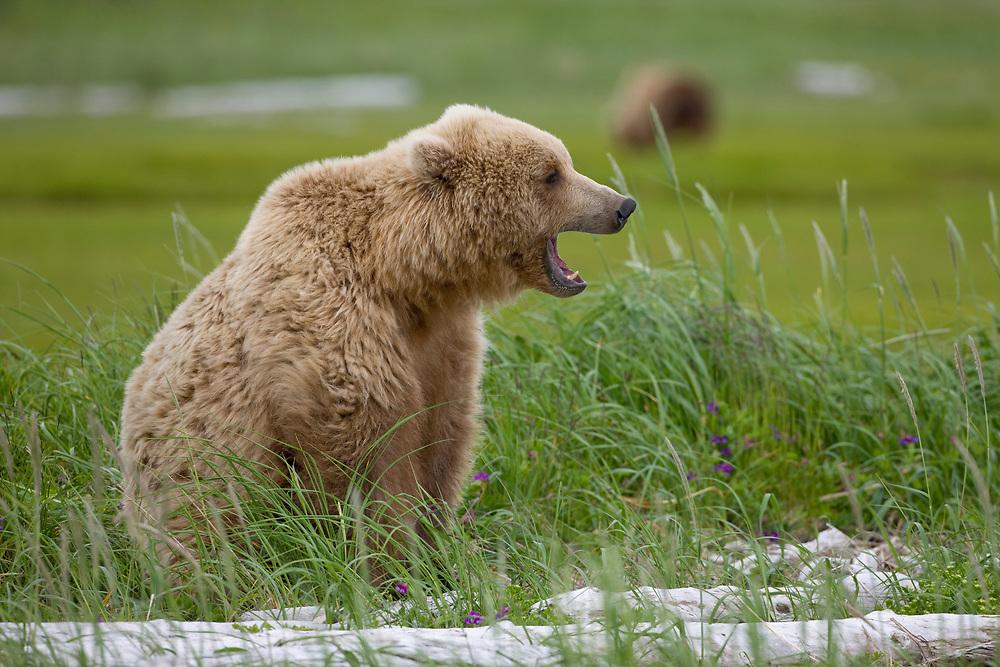 USA, Alaska, Katmai National Park,  Brown Bear (Ursus arctos) yawning while sitting amid wildflowers in meadow along Hallo Bay
