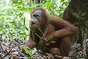 Sumatran Orangutan<br /> Pongo abelii<br /> Young male<br /> North Sumatra, Indonesia<br /> *Critically Endangered