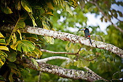 Collared Toucan in western Belize