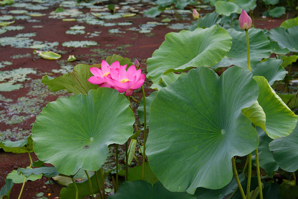 Indian, or Sacred Lotus flowers, Nelumbo nucifera, growing in the East Lake Greenway park, Wuhan, Hubei, China