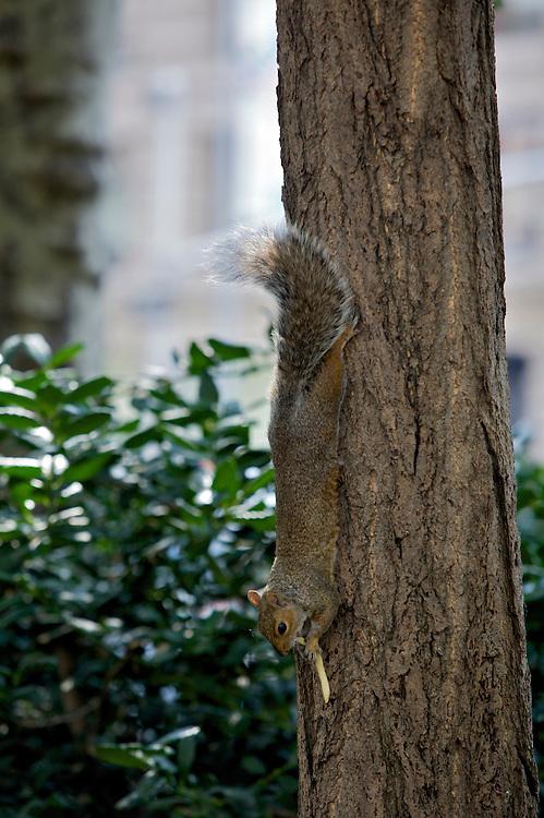 UNITED STATES-NEW YORK CITY-Park. PHOTO: GERRIT DE HEUS.VERENIGDE STATEN-NEW YORK. Een eekhoorn eet een patatje, een slapende man heeft niets in de gaten. PHOTO COPYRIGHT GERRIT DE HEUS