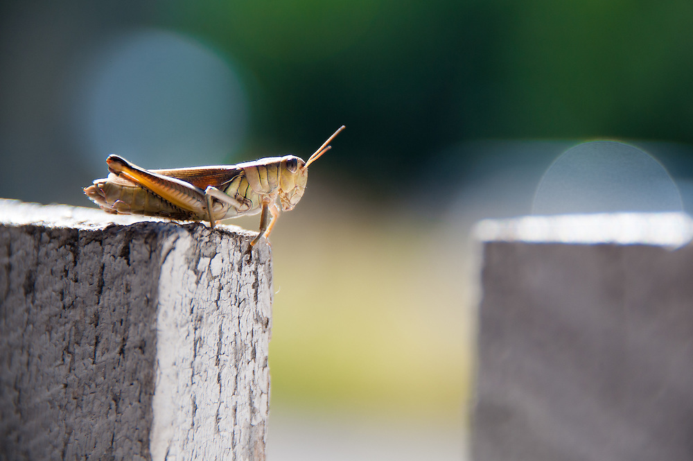 Grasshopper on fence post