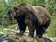 The Grizzly Bear (Ursus arctos horribilis), also known as the Silvertip Bear, is a subspecies of brown bear (Ursus arctos) that lives in the uplands of western North America. Grizzlies are normally a solitary active animal, but in coastal areas the grizzly congregates alongside streams, lakes, and rivers during the salmon spawn. Every other year, females (sows) produce one to four young (most commonly two) which are small and weigh only about 500 grams (one pound). The species Ursus arctos is found across northern Eurasia (including Russia and Scandinavia) and North America and is an omnivorous mammal of the order Carnivora. Photographed in the Woodland Park Zoo, Seattle, Washington.