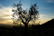Olive Tree at sunset