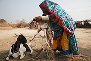 A rescued women who has lived in the village for years has saved up to buy goats to provide extra income. The goat has just given birth. Following the release of the Global Slavery Index by the Walk Free Foundation Pakistan is ranked 3rd worse in the world behind India and China. The Asian Development Bank estimates some 1.8 million people are slaves in Pakistan yet other estimates reach up to 4 million people, most of which toil year after year in brick kilns or sugar cane plantations. Their stories are the same; they have no-where to turn so they borrow money from a land-owner for a medical emergency or marriage dowry. The landlords pay in return for work, their labour supposed to be taken off the amount borrowed. Yet after years of no salary incredibly their amount owed is often quadrupled, the excuse being the amount they cost to feed! Many are chained, abused, raped and even killed.<br /> <br /> For years they had no where to run, no one to help but now a small local NGO called the Green Development Rural Organisation (GDRO) works to free bonded-slaves by using the law against their captives. Yet, often freed slaves end up right back where they were or risk being hunted by the landowner and forced to return. So GRDO started building villages so slaves who escape or are freed have somewhere safe to go. It now has two, whose names translate from Urdu as 'Village of the Freed' and 'Village of the Courageous', and is working on a 3rd. The land is bought and allocated to freed slave families where they can built a house and start again. Without such help the vicious cycle would continue.