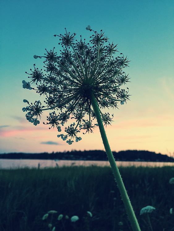 Queen Anne's Lace on the banks of Puget Sound in the Pacific Northwest. Taken with an iPhone6