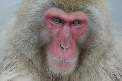 Japan, Jigokudani Monkey Park. A snow monkey looks pensively at the camera. Credit as: © Josh Anon / Jaynes Gallery / DanitaDelimont.com