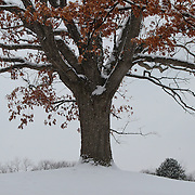 &quot;Rustling of the Oaks&quot;<br />