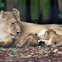 .London  August 13 Photocall at ZSL Londoon Zoo for first lions cubs for a decade making their debut.  It is the first time in 10 years that  two Asian Lion Cubs have been born at the capital Zoo..Standard Licence feee's apply  to all image usage.Marco Secchi - Xianpix tel +44 (0) 845 050 6211 .e-mail ms@msecchi.com .http://www.marcosecchi.com