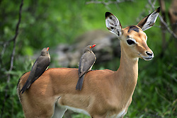 June 23, 2015 - Young Impala with Red-billed Oxpecker, Kruger national park, South Africa / (Aepyceros melampus) (Credit Image: © Tuns/DPA/ZUMA Wire)