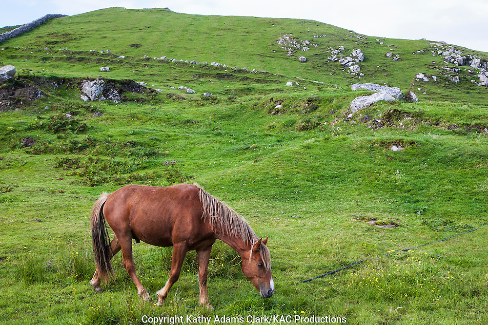 Horse grazing on Clare Island off coast of western Ireland.