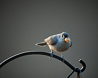 Tufted Titmouse. Image taken with a Nikon D5 camera and 600 mm f/4 lens (ISO 1600, 600 mm, f/4, 1/640 sec)