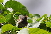 An Oregon junco (Junco hyemalis) feasts on a seed it found in a shrub in Snohomish County, Washington.