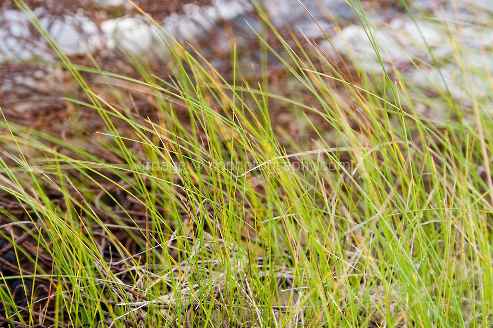 Close up of grass, rusty mattress springs in background