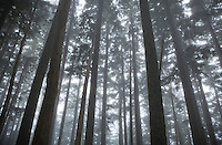 Old growth trees in the fog, Mount Rainier National Park, Washington, USA.