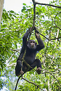 Chimpanzee<br /> Pan troglodytes<br /> &quot;Pant hooting&quot; in tree <br /> Tropical forest, Western Uganda