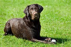 Wallace Mixed Breed Young Dog, Morgan Chocolate Labrador and Ziva English Springer Spaniel 16 Aug 2010 <br /> Images © Paul David Drabble