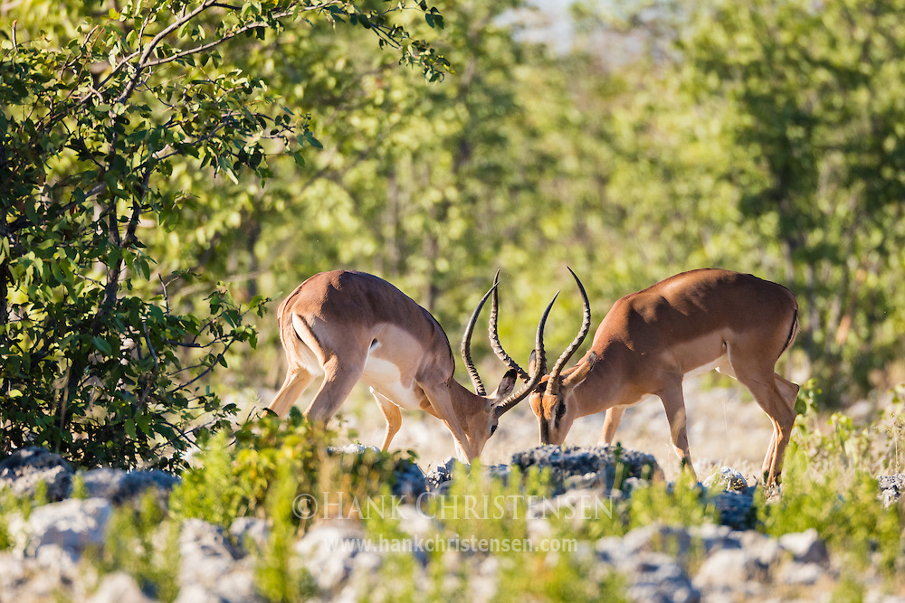 Two black-faced impala face off in order to win the affection of nearby females, Etosha National Park, Namibia.