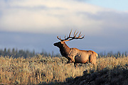 A large bull elk runs across a sagebrush flat at dawn.