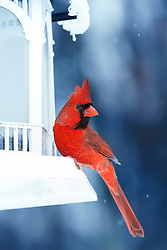 A Male Northern Cardinals perched on a white feeder in the midst of a cold winter snow storm. The vibrant Cardinal red contrast against the chilly blues and white snow. The Northern Cardinal is a North American bird in the genus Cardinalis, it is also known colloquially as the redbird or common cardinal.<br />