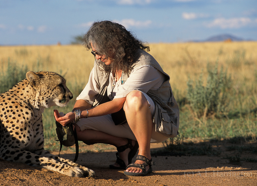 Laurie Marker and Chewbakka..Cheetah. Cheetahs are Africa's most endangered cat, less than 15,000 remain in 26 African countries, and less than 50 found in Iran, the last of the Asian cheetah. Namibia is the Cheetah Capital of the World with approximately 3,000 free-ranging individuals of which 95% are outside protected areas on commercial livestock and game farms, resulting in conflict with humans.