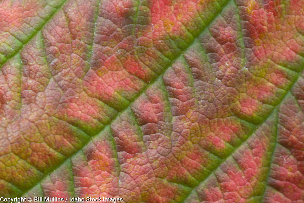 Raspberry leaf turniing color in autumn