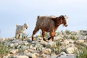 Israel, Negev desert, herd of goats