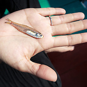 This is an Indian anchovy (Stolephorus indicus), one of the anchovy species that Eden's whales (Balaenoptera edeni edeni) feed upon in the Gulf of Thailand. It is also a primary ingredient for fish sauce, as well as many other foods in Thailand and Southeast Asia.