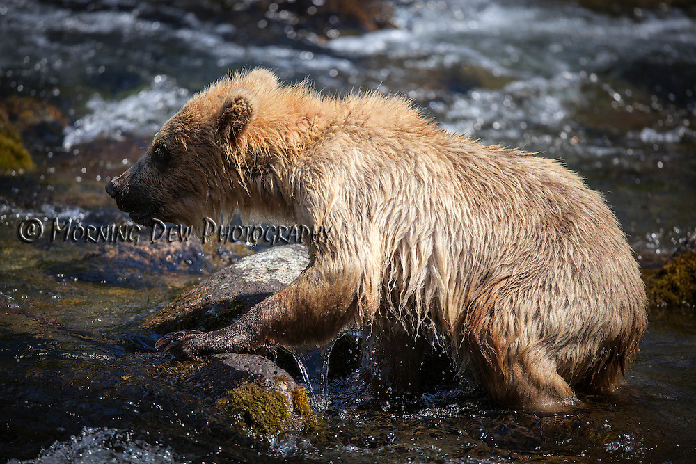 A yearling brown bear cub clamors over rocks in the Riffles along Brooks River.