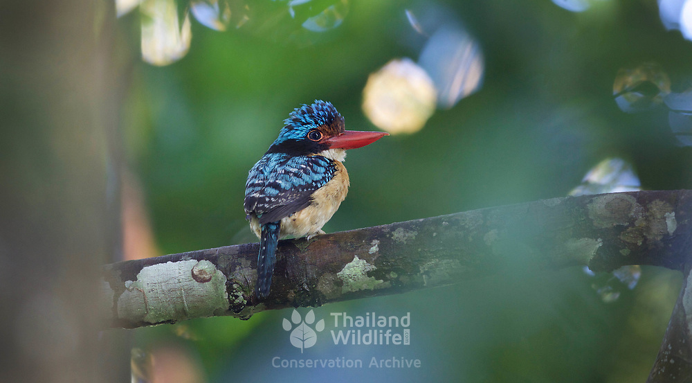 The banded kingfisher (Lacedo pulchella) is a tree kingfisher found in lowland tropical forests of southeast Asia. It is the only member of the genus Lacedo. Male and female adults are very different in plumage. The male has a bright blue crown with black and blue banding on the back. The female has rufous and black banding on the head and upperparts.