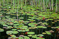 Long Island, New York, Lotus Lake. Lily-pads, reeds and reflections.