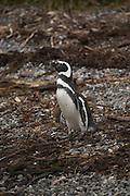 Magellanic Penguins on Tucker Island, Patagonia, Chile