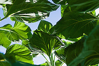 Looking up through the leaves of several Sunflower plants.