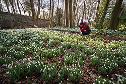 © Licensed to London News Pictures 04/02/2020, Painswick, UK. A man stops to take photos of the snowdrops in the Rococo gardens in Painswick. The gardens contain around 5 million snowdrops.  Photo Credit : Stephen Shepherd/LNP