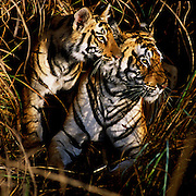 Bengal Tiger (Panthera tigris) - This mother and cub were hanging out in the tall grass early in the morning. The tiger'sl markings blend in so naturally with the lines of the grass.  A tiger cub will stay with it's mother for a couple of years learning how to hunt and survive in the forest.