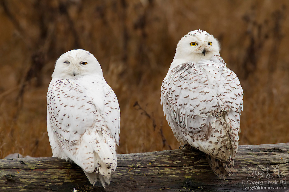 Two snowy owls (Bubo scandiacus, formerly Nyctea scandiaca) rest together on a log near Boundary Bay, British Columbia, Canada. Snowy owls, like other owls, typically hunt at night and rest during the day. Snowy owls are rarely found as far south as the Canada/United States border, but do migrate that far once or twice a decade in a type of migration known as an irruption. Irruptions occur when the snowy owl population is too large for the food supply on the Arctic tundra, forcing them to spread out much farther than normal.