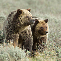 Grizzly Bear<br />