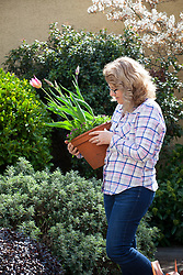 Moving pots of tulips to somewhere more visible as they start flowering
