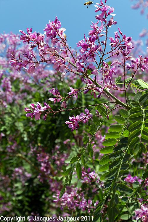 Blooming Pterodon emarginatus (Leguminosae - Fabaceae), tree in savanna (called  cerrado in Brazil) biome, Goias - Minas Gerais - Bahia State, Brazil