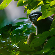 Eastern Hoolock Gibbon - Hoolock Leuconedys<br /> Found in Eastern most part of Arunachal Pradesh. Compared to Western Hoolock Gibbons, Males of Leuconedys has two distinct white eyebrows. In Western Hoolock Gibbons males have monobrow i.e. single white brow extended over both eyes.