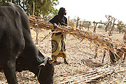 A woman feeds cattle in the village of Weotenga, Plateau-Centre region, Burkina Faso on Wednesday March 28, 2012.