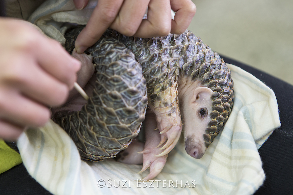 Chinese pangolin <br /> Manis pentadactyla<br /> Research assistant, Hsuan-yi Lo, cleaning three-month-old orphaned baby (named Gung-wu). Gung-wu is the offspring of parents rescued from poachers.  <br /> Taipei Zoo, Taipei, Taiwan