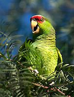 I went out to photograph wild birds and got a picture of the colorful green and red San Diego wild parrot from a flock that also lands in Lakeside