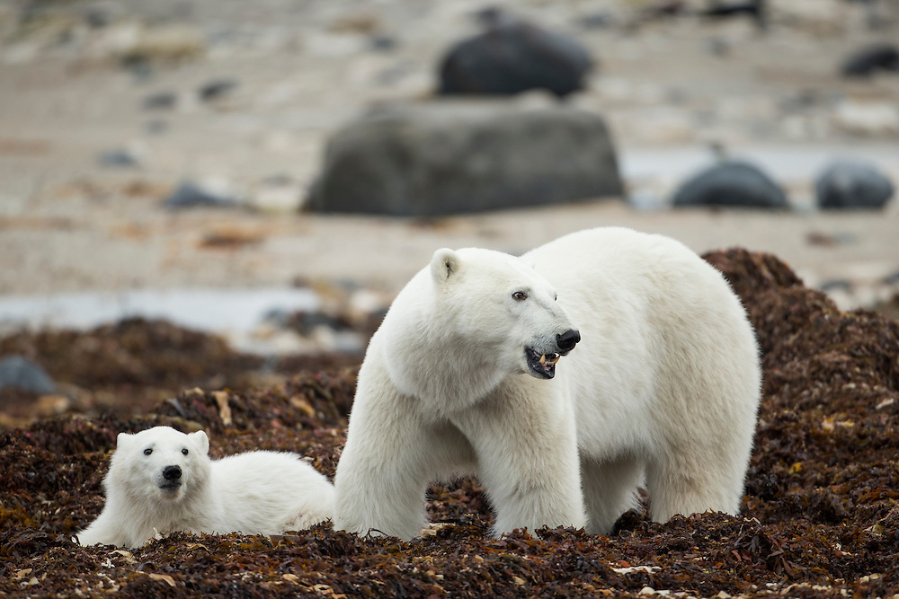 Canada, Manitoba, Churchill, Polar Bear (Ursus maritimus) and cub standing in piles of seaweed blown onto shoreline of Hudson Bay on overcast autumn morning